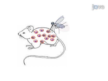 ciclo de vida del parásito de la malaria en hindi