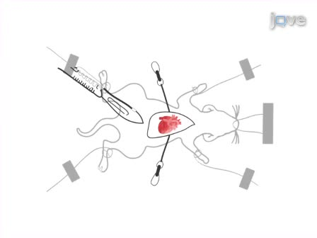 Use Of A Hanging Weight System For Coronary Artery Occlusion In Mice
