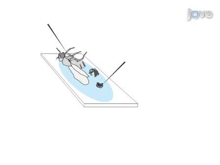 Isolation of Drosophila melanogaster Testes | Protocol