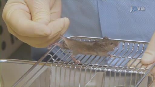 Lab råttor dating
