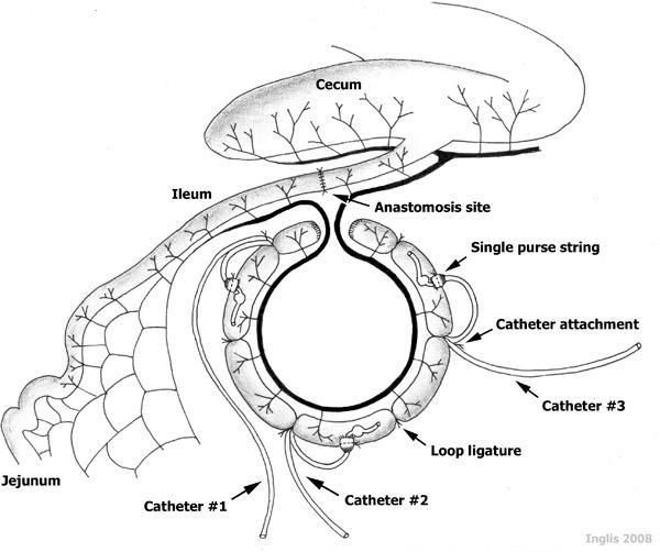 Catheterization Of Intestinal Loops In Ruminants