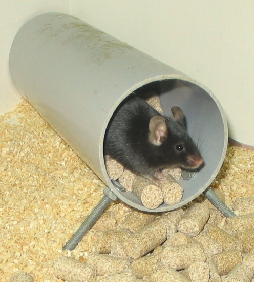 Assessing Burrowing, Nest Construction, and Hoarding in Mice