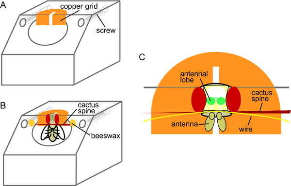 Calcium Imaging of Odor-evoked Responses in the Drosophila