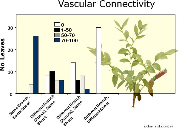 Herbivore-induced Blueberry Volatiles and Intra-plant