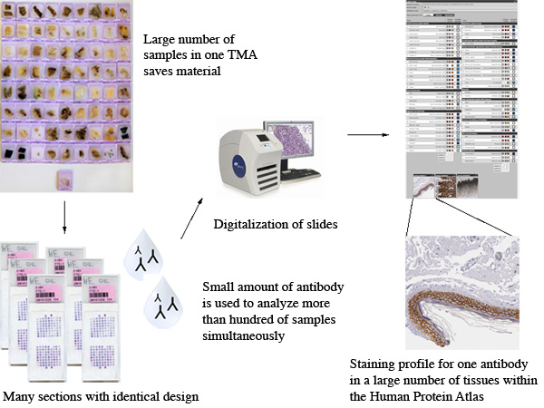 Production Of Tissue Microarrays Immunohistochemistry Staining And