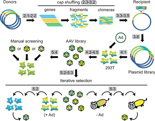 Scheme Synthetic AAV Capsid Engineering Via DNA Family Shuffling And Subsequent Selection In Cells Or Animals Protocol Steps Are Highlighted Grey