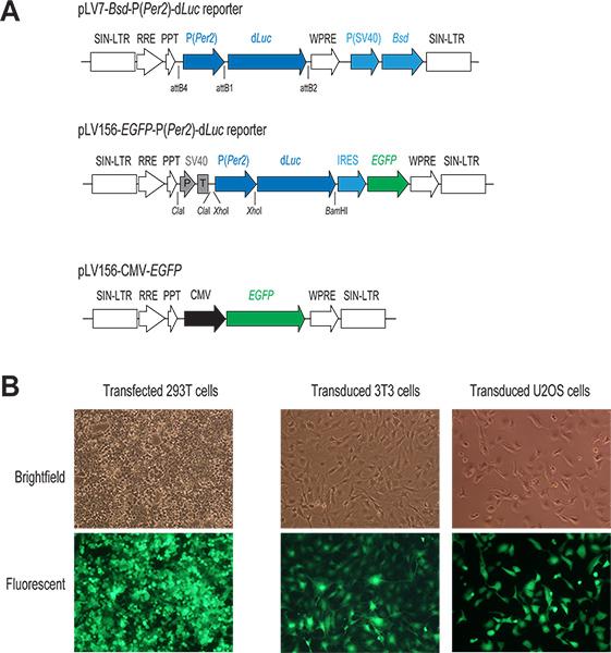 genómica funcional de células individuales de infección por citomegalovirus humano