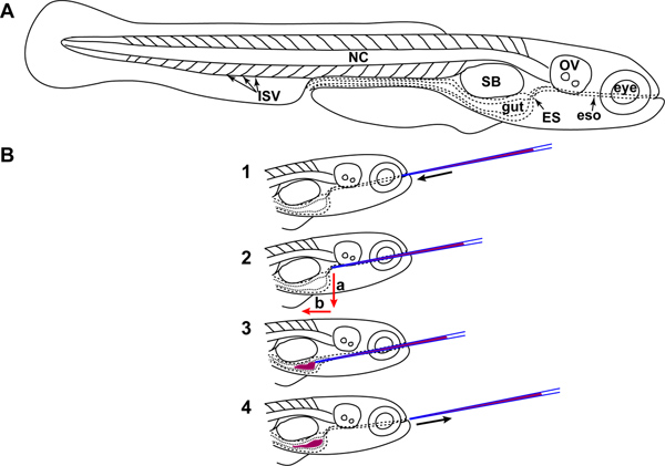 Microgavage of Zebrafish Larvae | Protocol