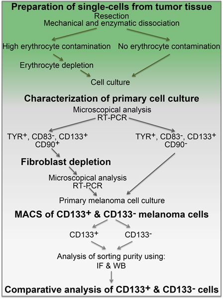 Patient Derived Cell Culture and Isolation of CD133+