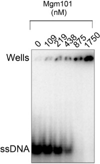 Preparation of the Mgm101 Recombination Protein by MBP-based