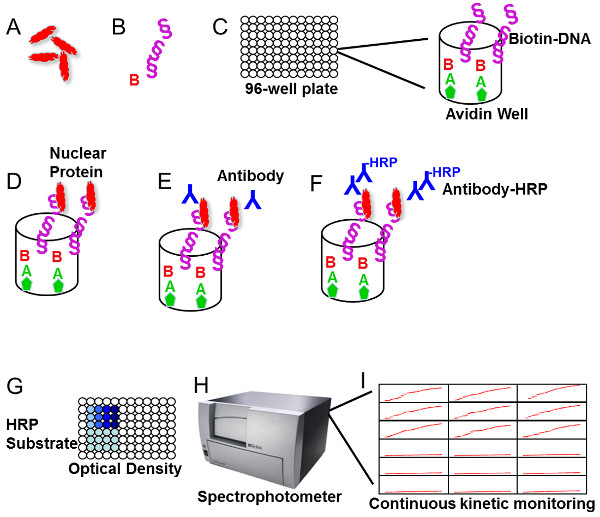A Quantitative Assay To Study Protein:DNA Interactions