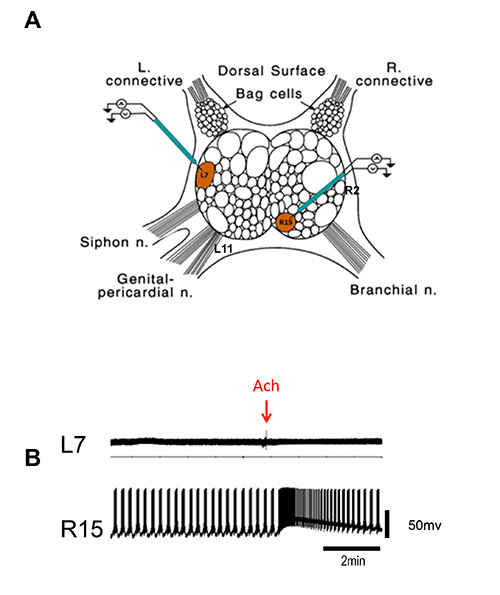 Aplysia Ganglia Preparation for Electrophysiological and