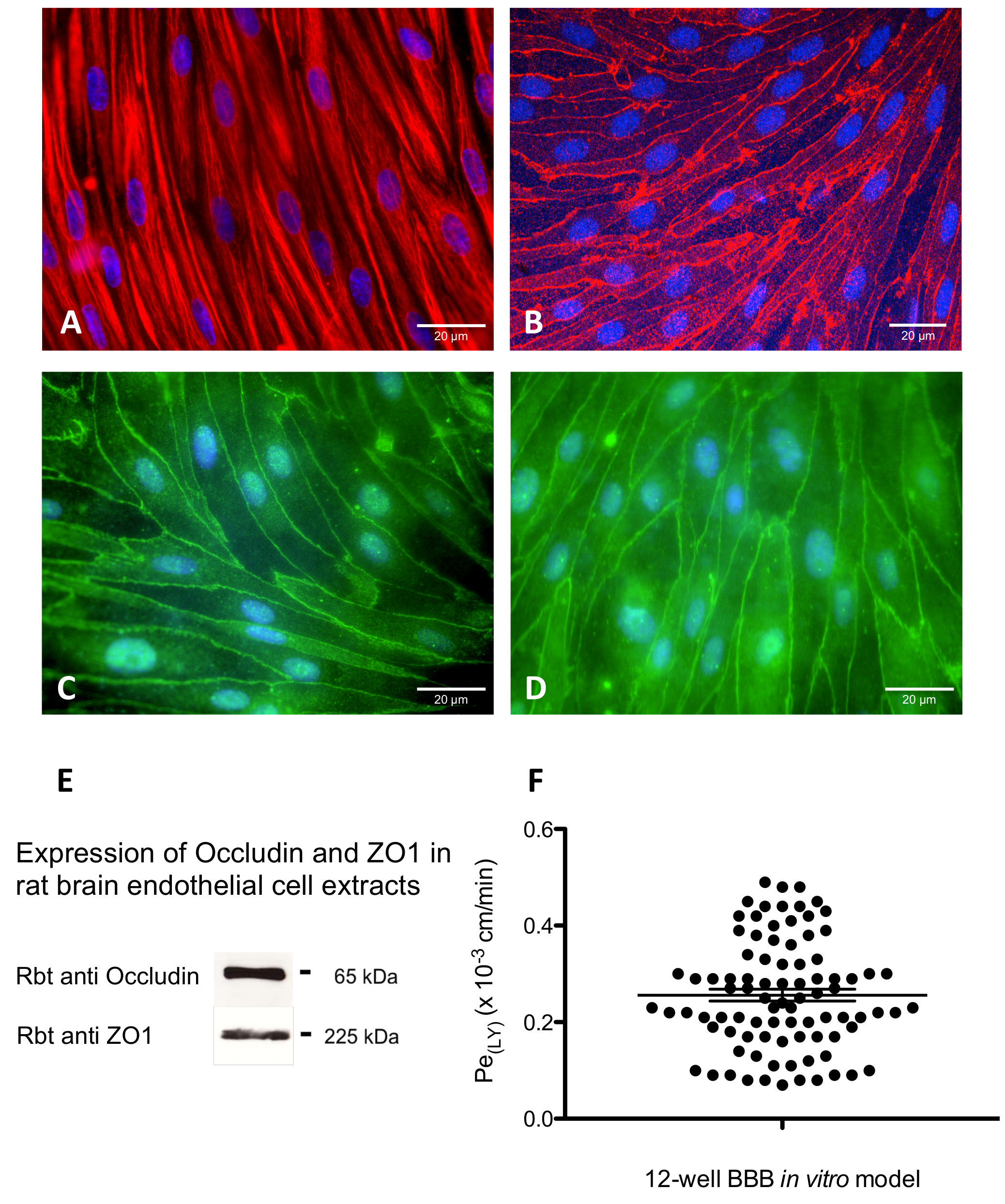 Setting-up an In Vitro Model of Rat Blood-brain Barrier (BBB