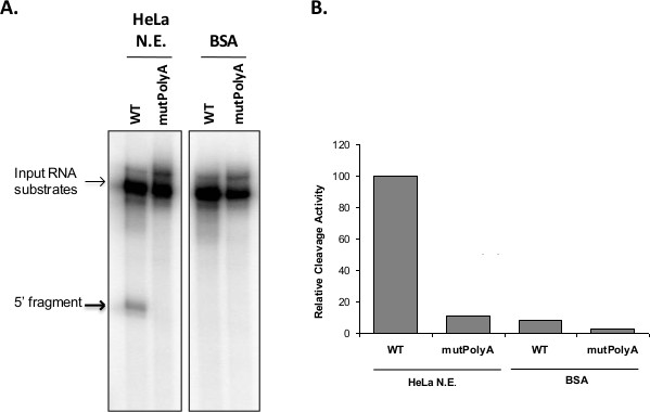 Analysis Of Rna Processing Reactions Using Cell Free Systems 3 End