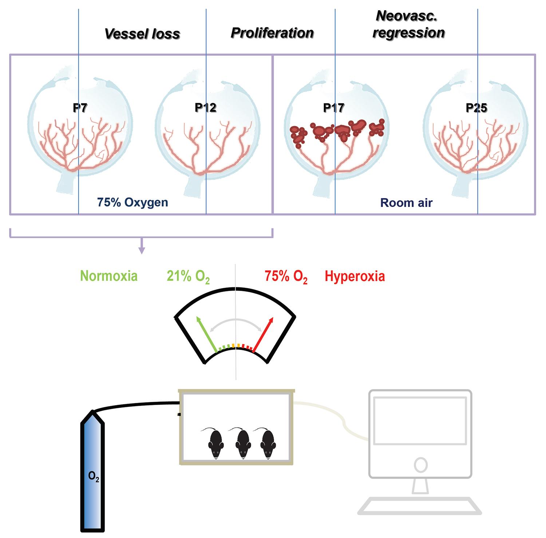 Assessment Of Vascular Regeneration In The Cns Using The