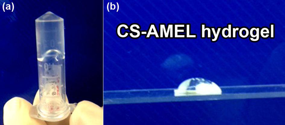 Development of Amelogenin-chitosan Hydrogel for In Vitro