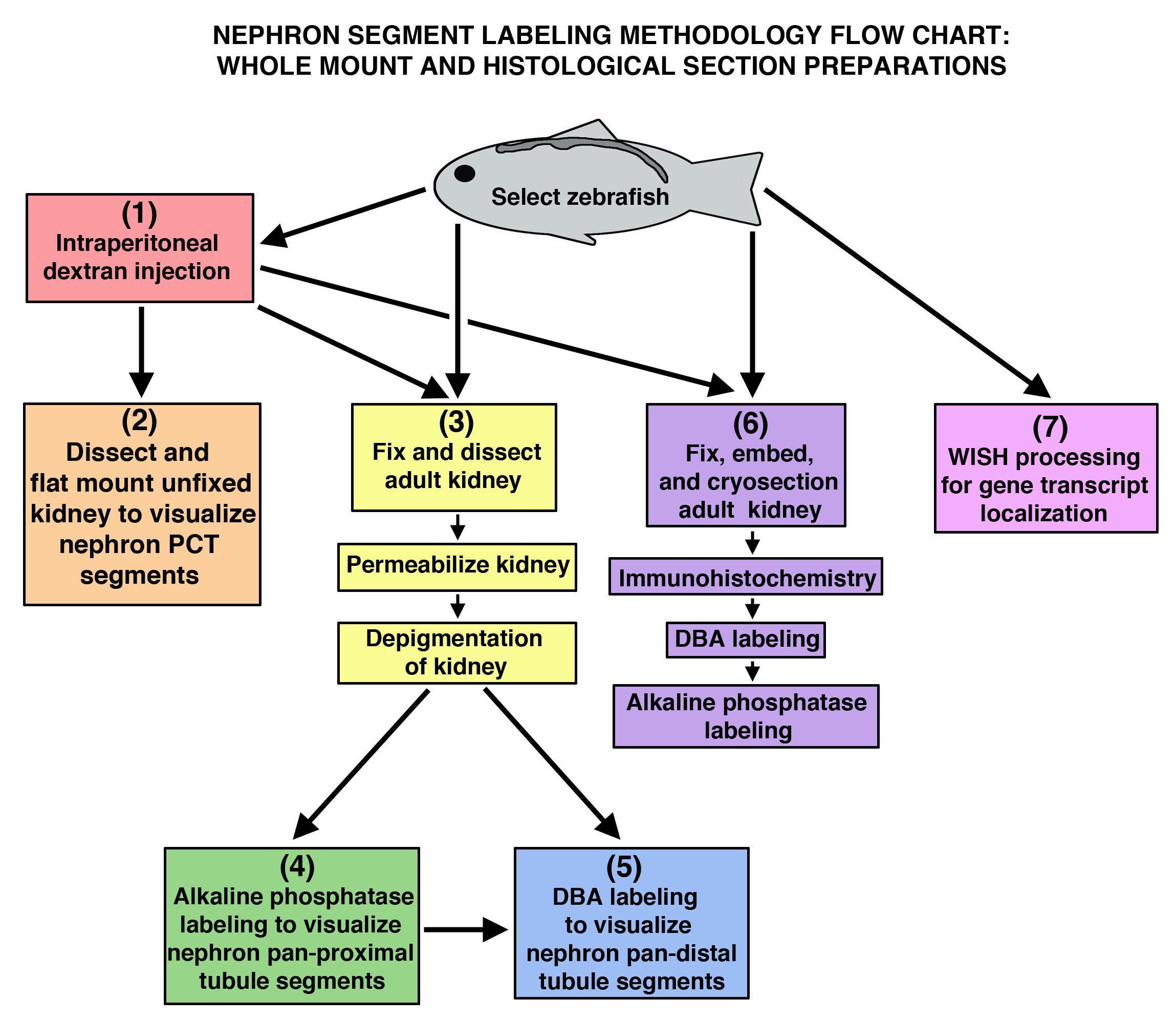 Analysis Of Nephron Composition And Function In The Adult Zebrafish