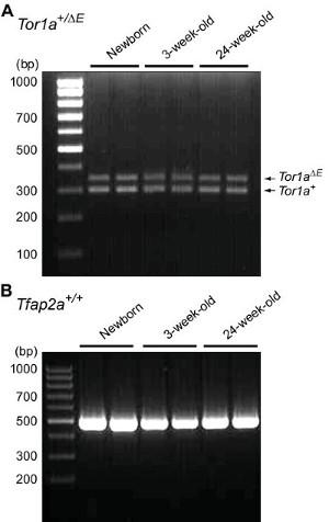 Rapid Genotyping of Animals Followed by Establishing Primary
