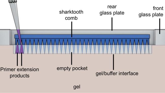 Fluorescence Based Primer Extension Technique to Determine