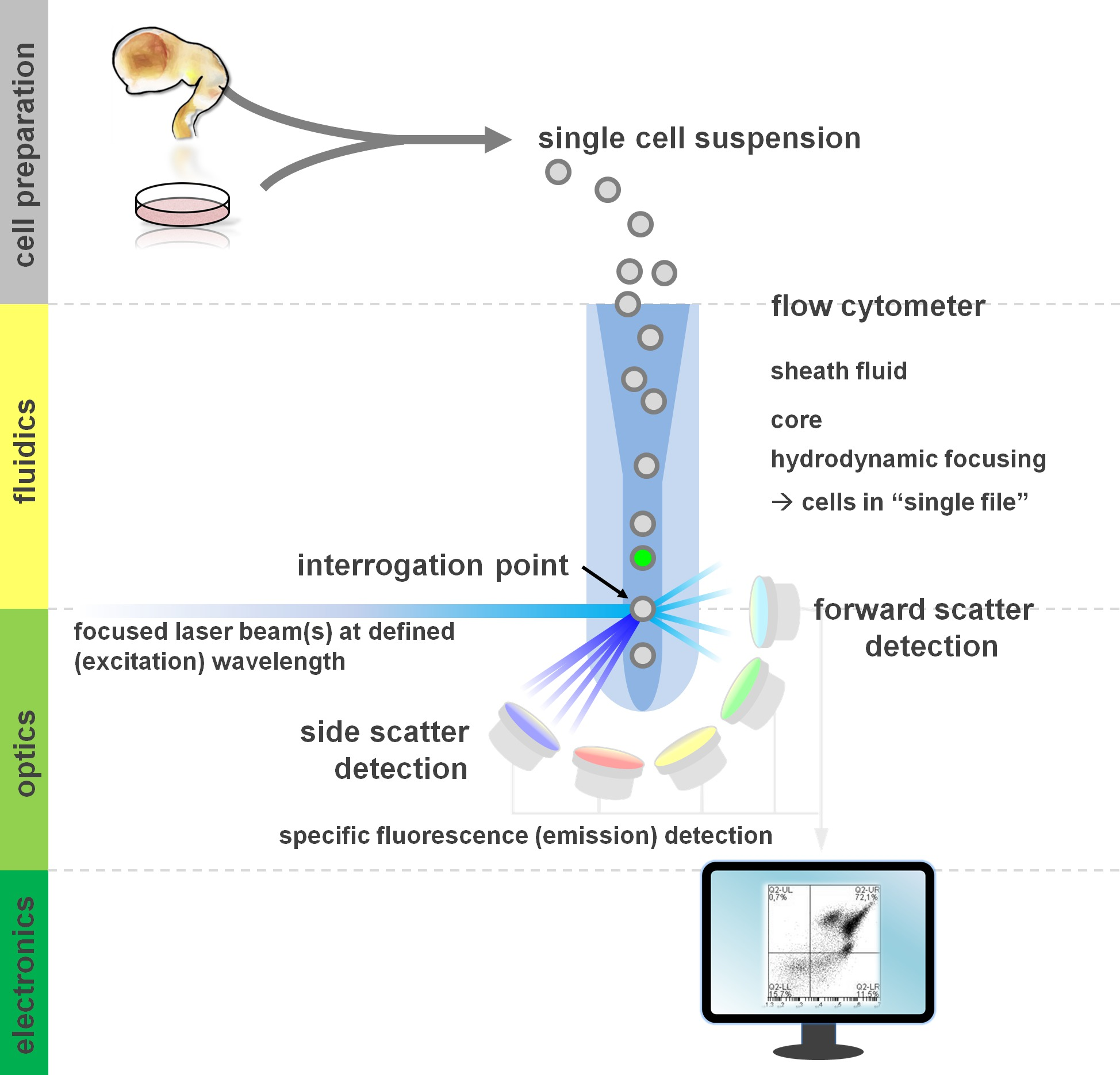 Flow Cytometry Protocols for Surface and Intracellular