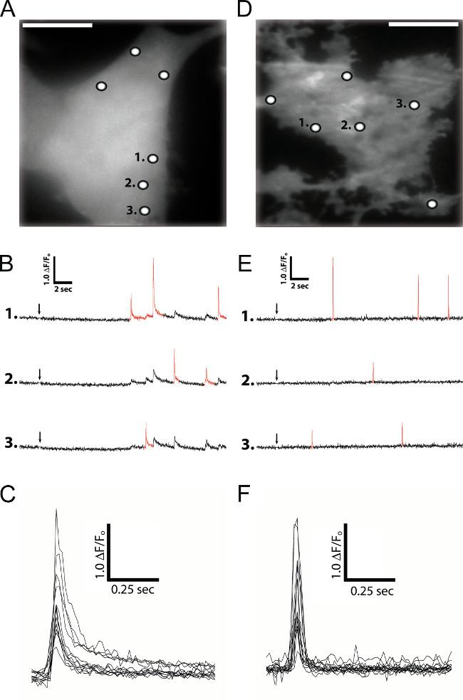 Imaging Local Ca2+ Signals in Cultured Mammalian Cells