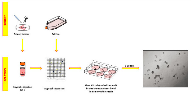 Mammosphere Formation Assay from Human Breast Cancer Tissues and