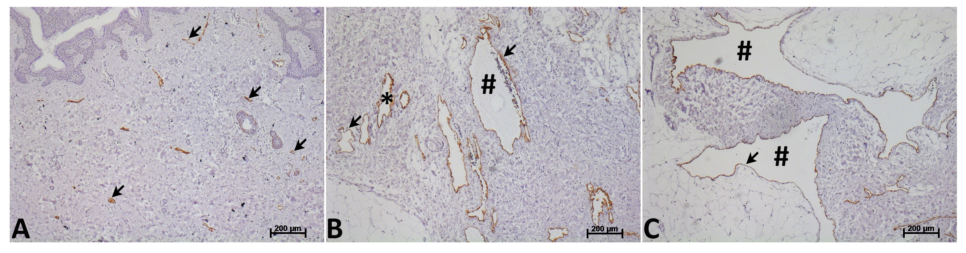 Isolation Of Human Lymphatic Endothelial Cells By Multi Parameter