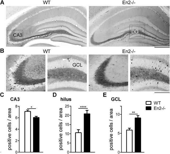 Immunohistochemical Visualization Of Hippocampal Neuron Activity