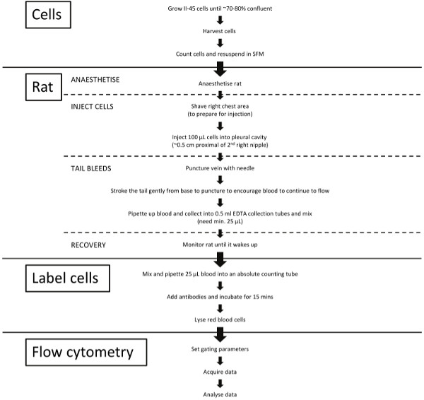 Orthotopic Implantation and Peripheral Immune Cell Monitoring in the
