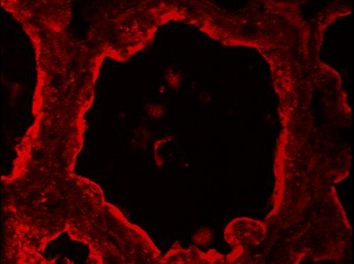 Indirect Immunofluorescence On Frozen Sections Of Mouse