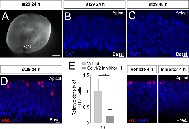 Whole Retinal Explants From Chicken Embryos For Electroporation And