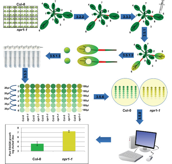 Bacterial Leaf Infiltration Assay for Fine Characterization of Plant