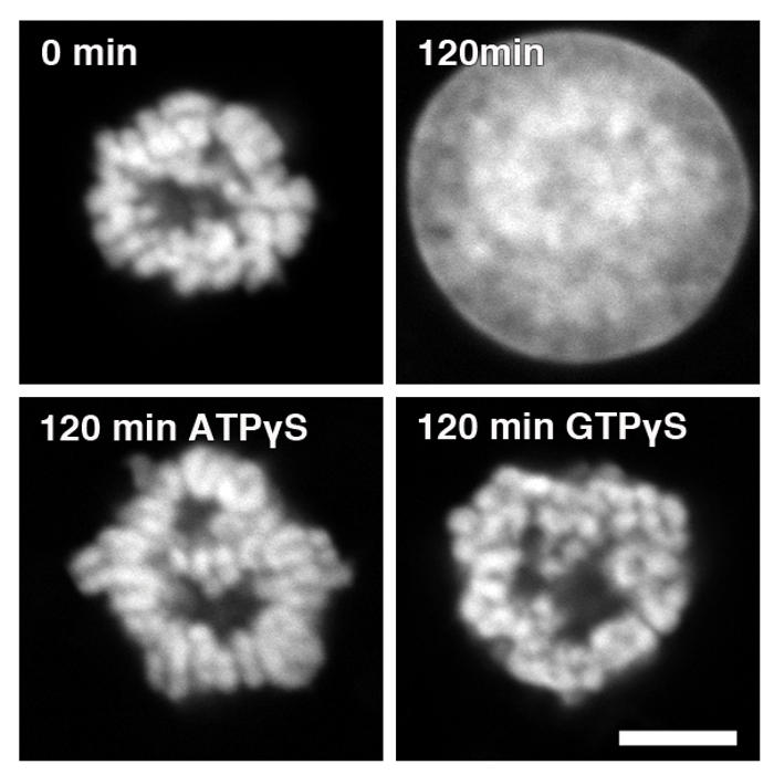 a cell free assay to study chromatin decondensation at the