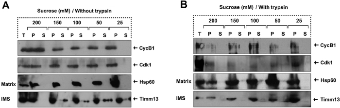 Experimental Approaches To Study Mitochondrial Localization And