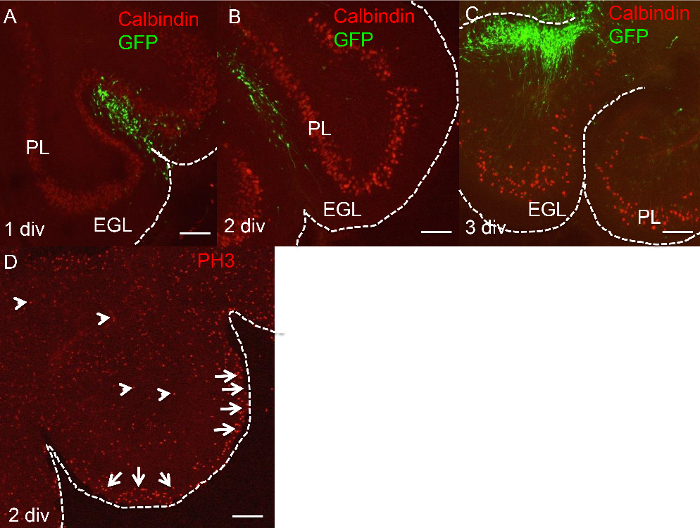 Ex Vivo Culture Of Chick Cerebellar Slices And Spatially Targeted