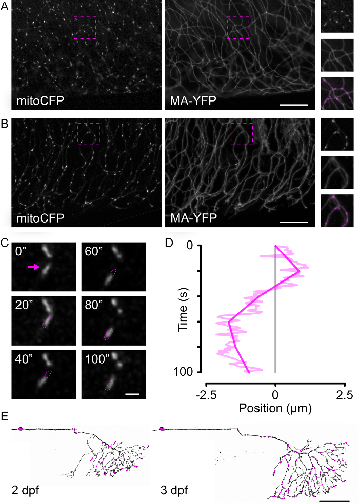 Imaging Subcellular Structures In The Living Zebrafish Embryo
