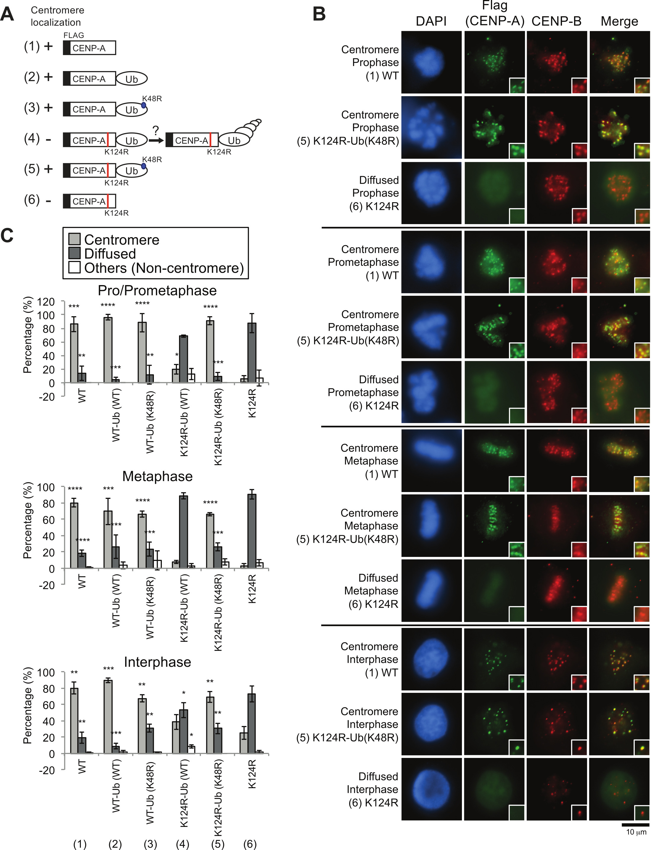 Immunofluorescence Analysis Of Endogenous And Exogenous Centromere