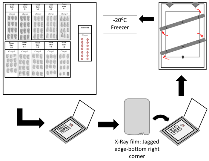 Receptor Autoradiography Protocol for the Localized Visualization of