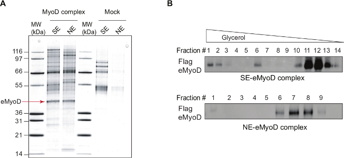 Identification of MyoD Interactome Using Tandem Affinity