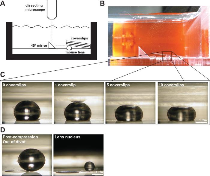 8aa976bc4902 En mus Linser Komprimeret af Dækglas (A) Skematisk og (B) fotografi af den  færdigetelle setup viser en 2-måneder gamle mus linse i en 200-um-dyb divot  i ...