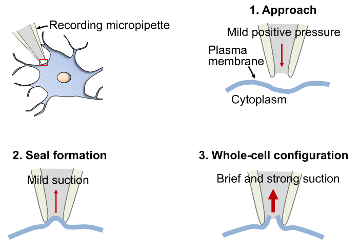 Whole-cell Patch-clamp Recordings in Brain Slices | Protocol