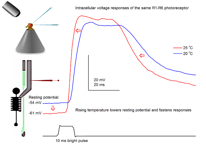 Electrophysiological Method for Recording Intracellular Voltage