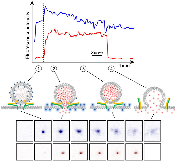 SNARE-mediated Fusion of Single Proteoliposomes with
