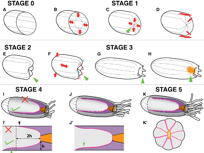 Inducing Complete Polyp Regeneration from the Aboral Physa