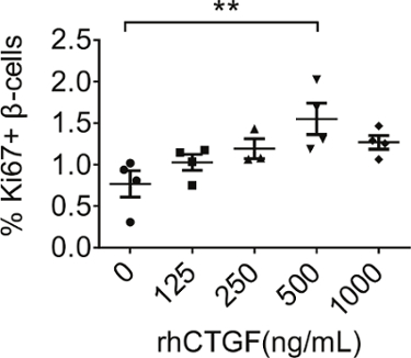 Sustained Administration Of β Cell Mitogens To Intact Mouse Islets