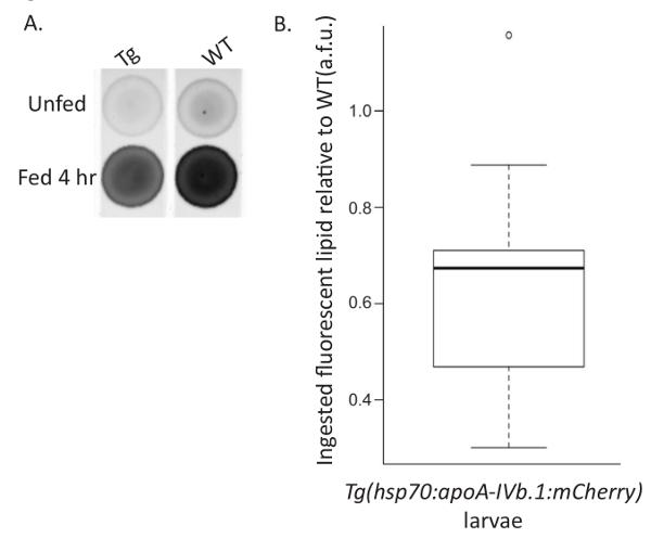 High-fat Feeding Paradigm for Larval Zebrafish: Feeding, Live