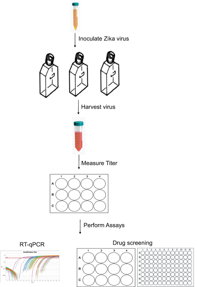 Zika Virus Infectious Cell Culture System and the In Vitro