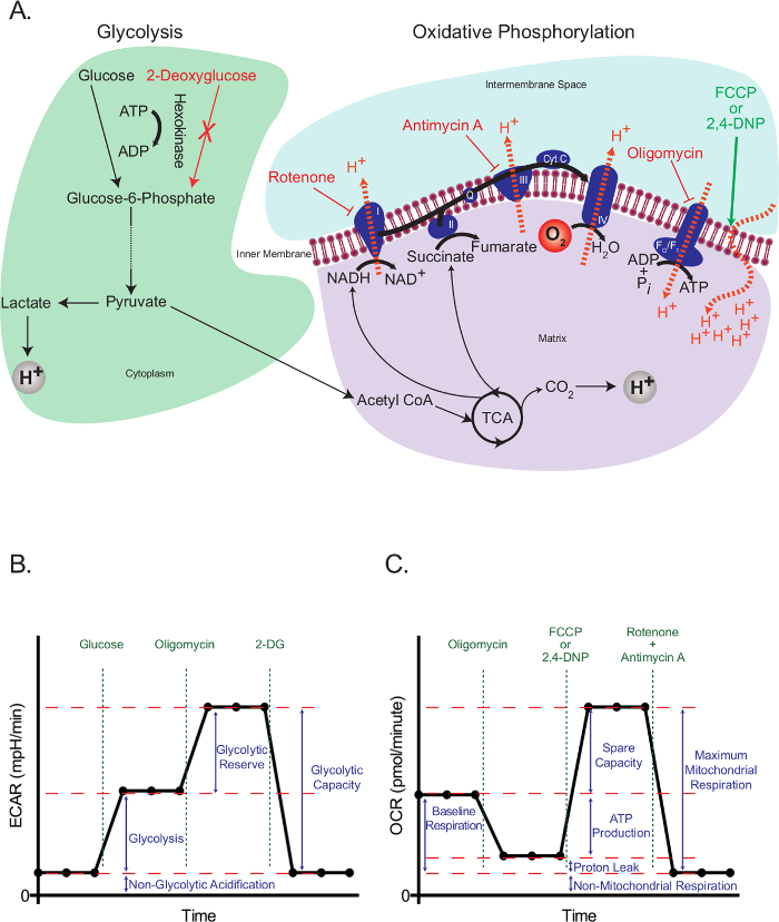 An Optimized Protocol to Analyze Glycolysis and