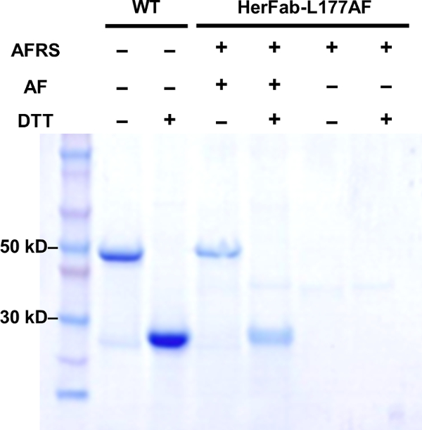 Efficient And Site Specific Antibody Labeling By Strain