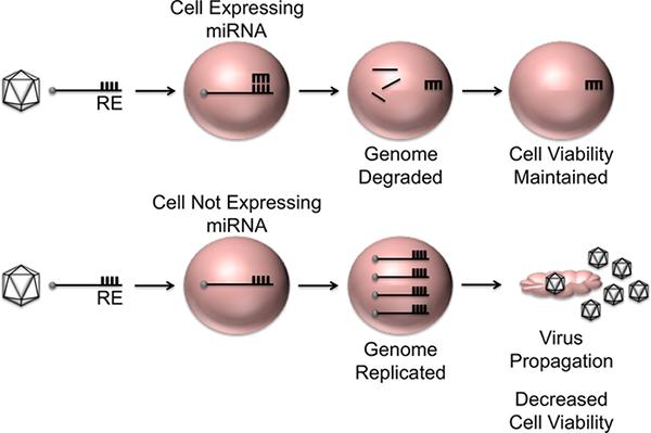 MicroRNA-based Regulation of Picornavirus Tropism | Protocol